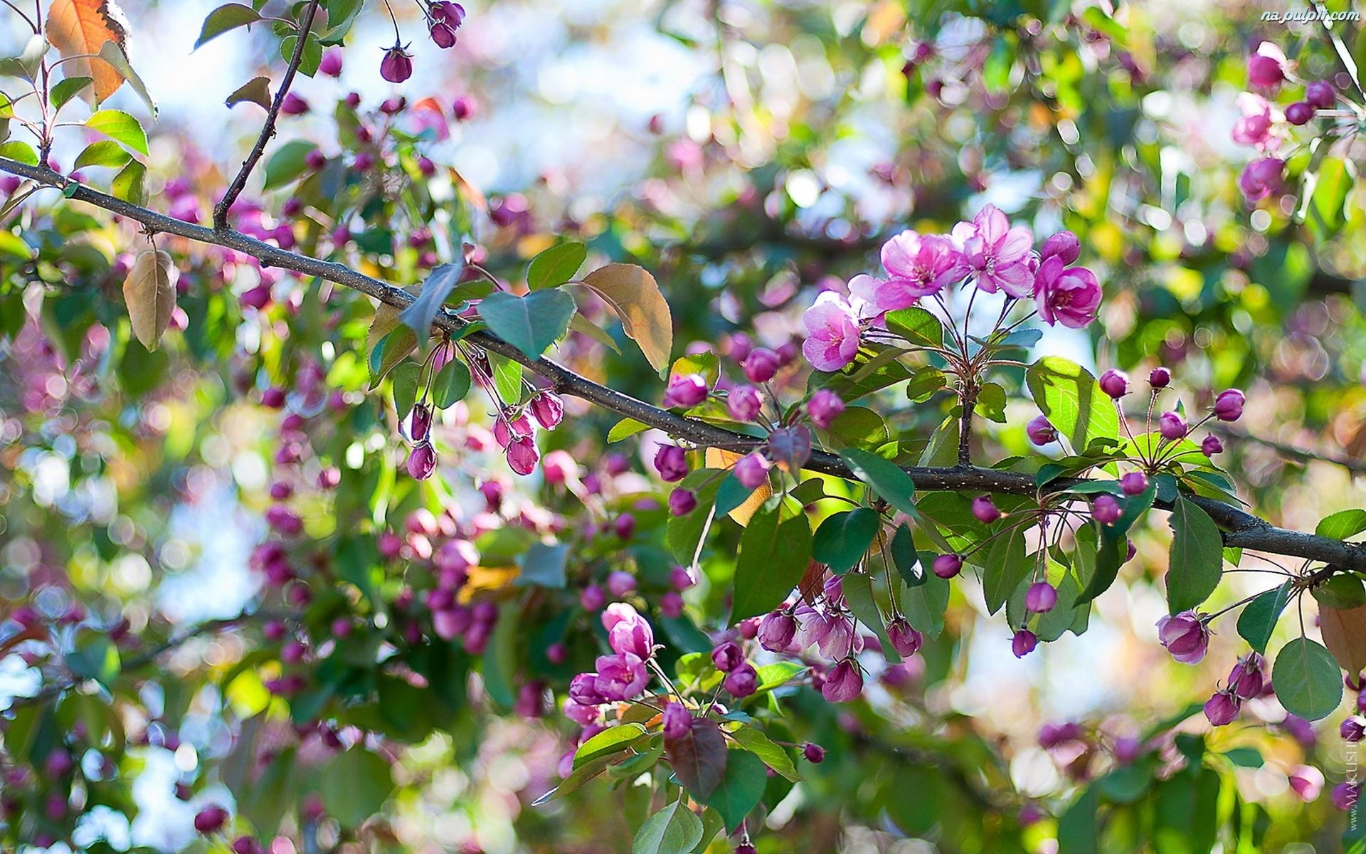 Drzewo, Kwitnące, Wiosna, Owocowe Na Pulpit